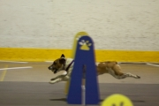 Jazzy J. at a flyball tournament in Napanee