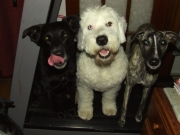 Beau, Pixie and Ripple on the treadmill!