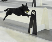Superdog Beau racing in Richmond 2012